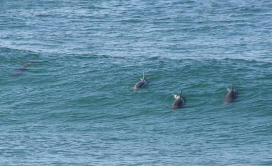 Delfine in Bondi 24.6.09 © jj